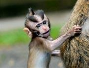 bali tourist object monkey forest